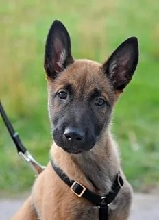 Belgian Malinois Adults And Puppies For Sale Personal