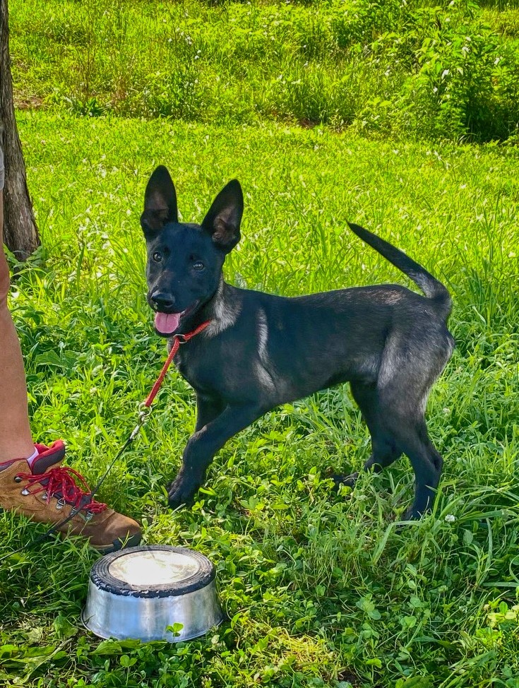 Belgian Malinois Puppy Training | Get A Free Quote Today